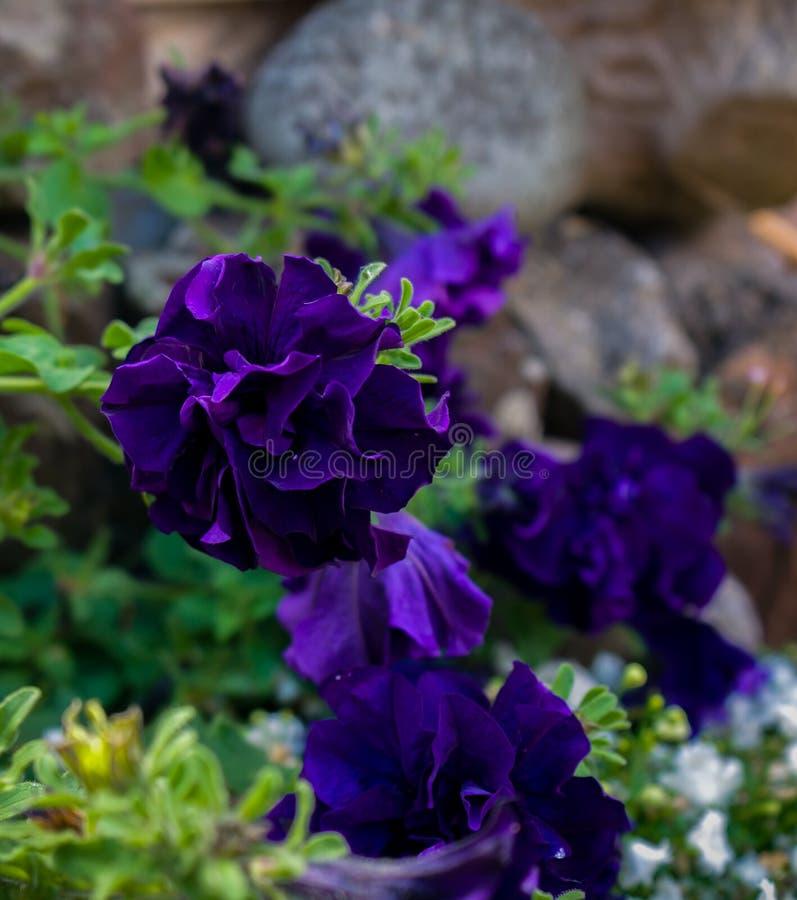 Fim violeta escuro brilhante da flor do petúnia acima fotos de stock royalty free