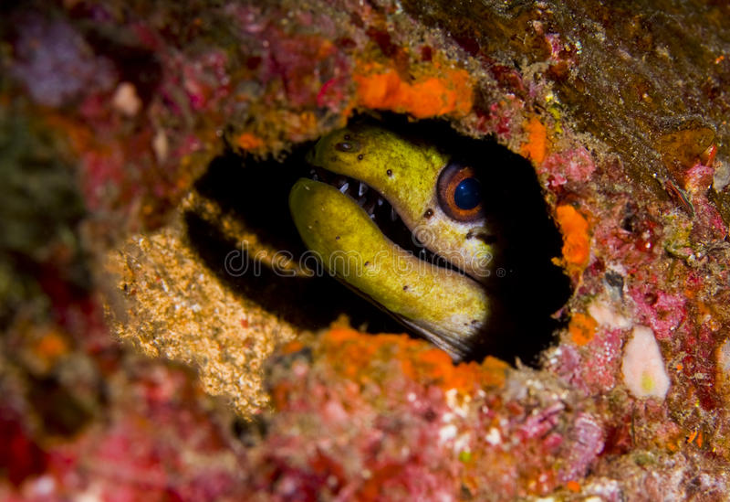 Fimbriated moray eel hiding stock image