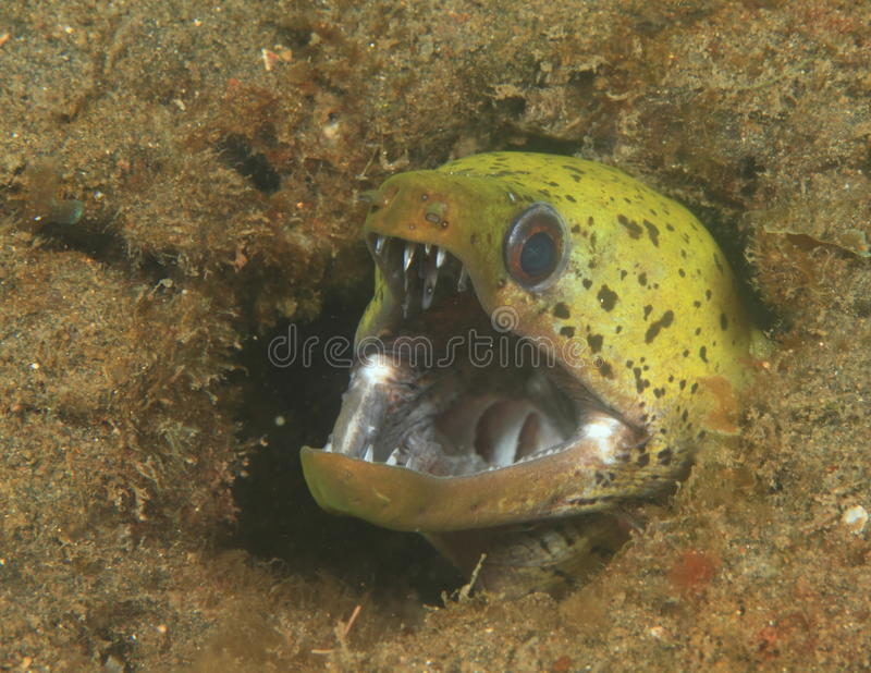 Fimbriated moray royalty free stock images