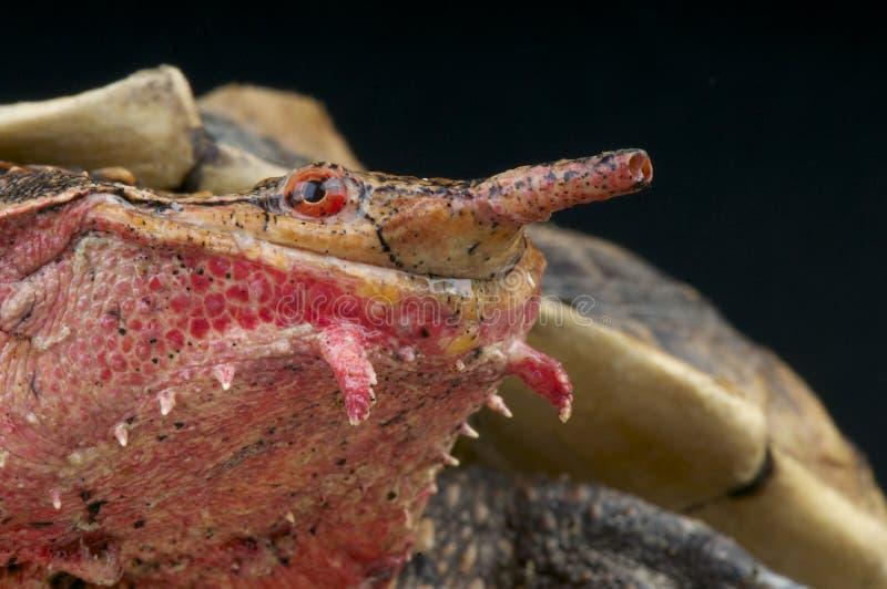 Fimbriatus de Mata Mata/de Chelus foto de archivo libre de regalías