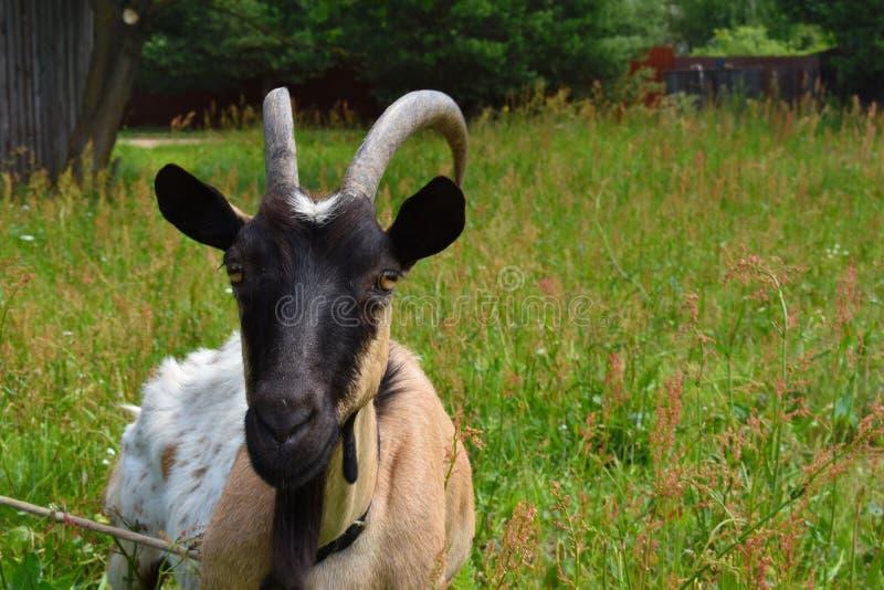 Fin à la maison de chèvre  Tête d'une chèvre avec des klaxons photographie stock