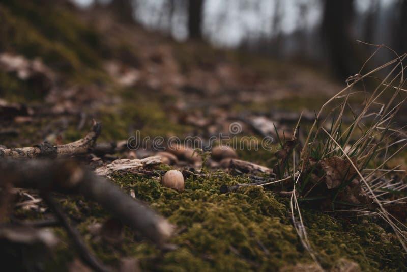 Fin étonnante d'art vers le haut de l'image des glands dans la mousse verte en nature sauvage photos libres de droits