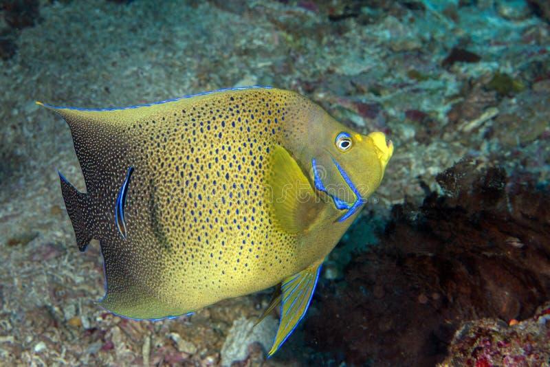 Fin adulte de portrait de poissons d'ange d'empereur en Maldives photographie stock