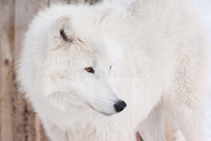 Fin arctique sauvage de loup  Animaux dans la faune Loup polaire ou loup blanc images stock