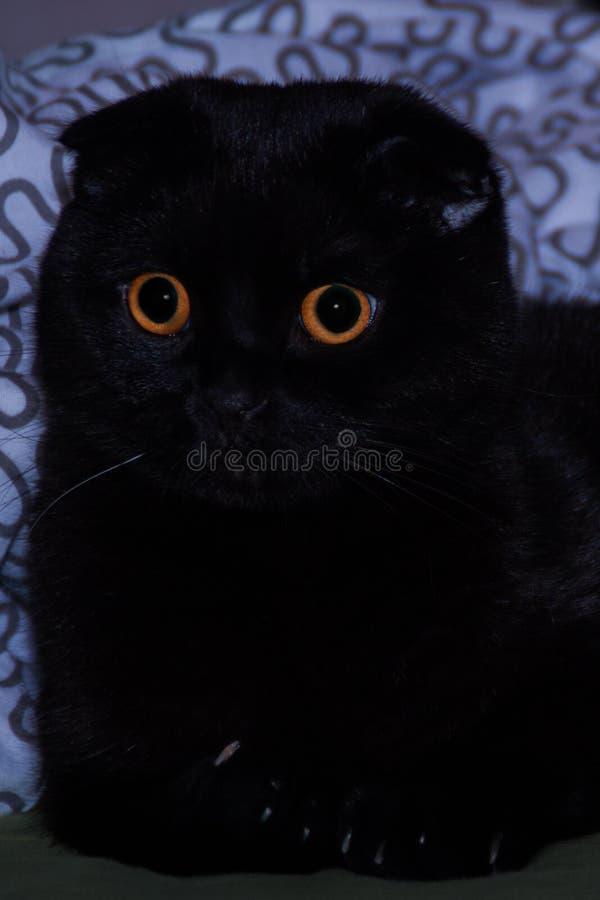 fin aux yeux oranges de chat d'écossais-pli  photographie stock libre de droits