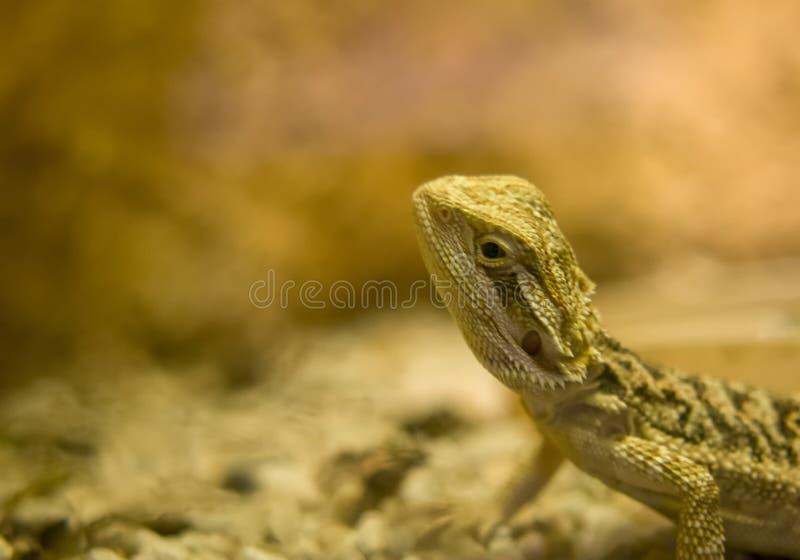 Fin barbue de dragon, DOF peu profond Plusieurs espèces de cette GEN image stock