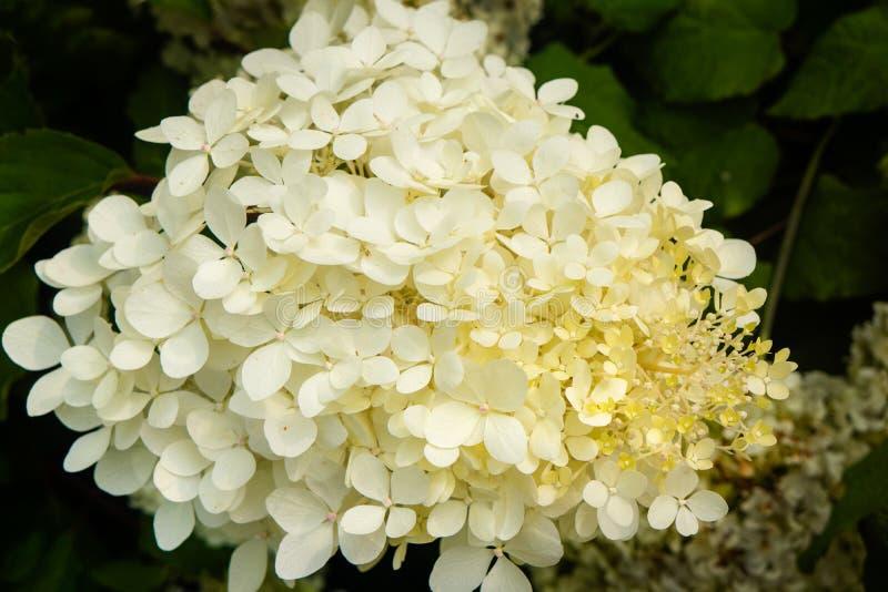 Fin blanche d'hortensia vers le haut de fond brouillé photo stock