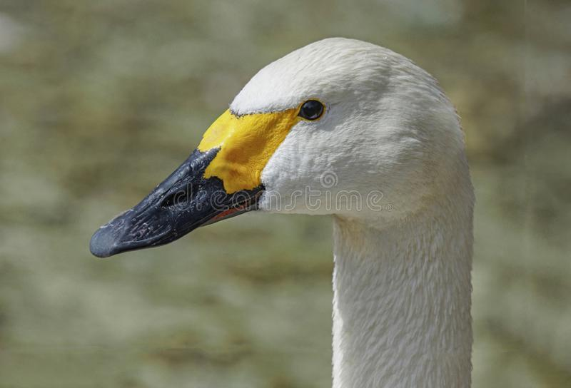 Fin blanche d'oiseau migrateur de cygne de Bewicks de cygne de toundra  images stock