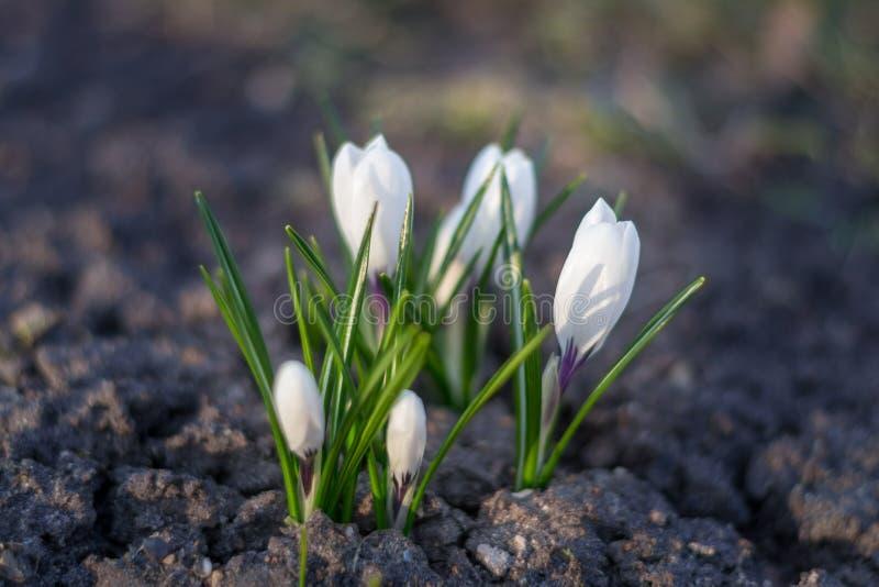 Fin blanche de crocus au-dessus de la terre vide au printemps photo libre de droits