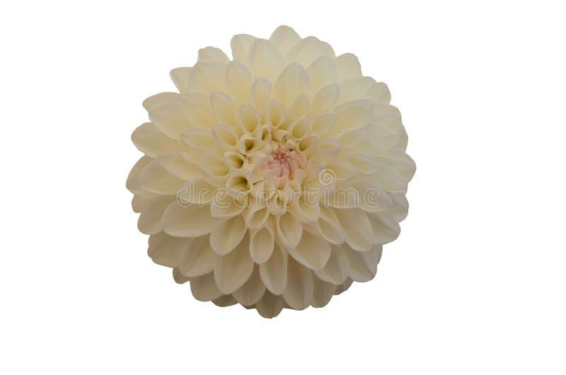 Fin blanche de fleur de Gergina vers le haut d'isolat sur le fond blanc photo libre de droits