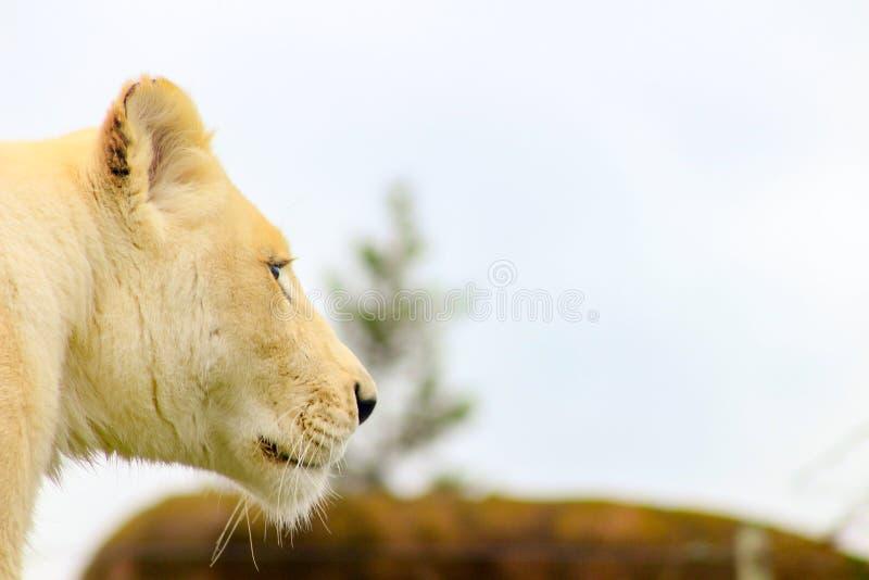 Fin blanche femelle de lion vers le haut de portrait Pièce pour l'espace de copie Le lion est connu en tant que roi du règne anim image stock
