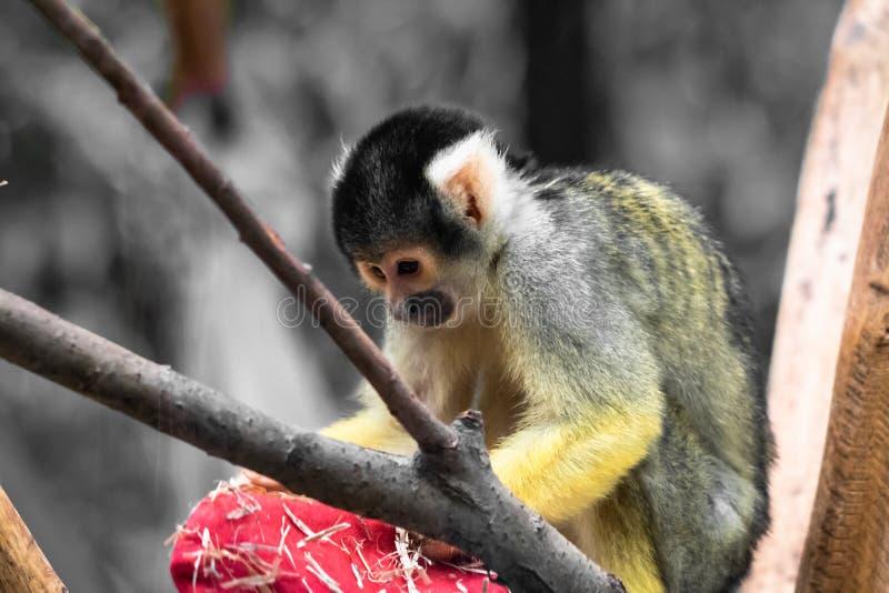 Fin bolivienne de portrait de singe-écureuil de saimiri mignon vers le haut du jeu avec le chapeau de Noël photographie stock libre de droits