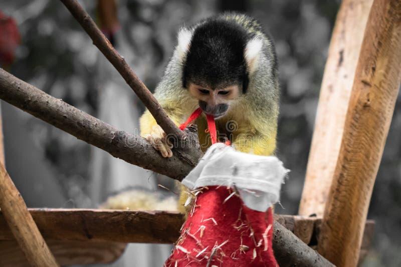 Fin bolivienne de portrait de singe-écureuil de saimiri mignon vers le haut du jeu avec le chapeau de Noël photos libres de droits