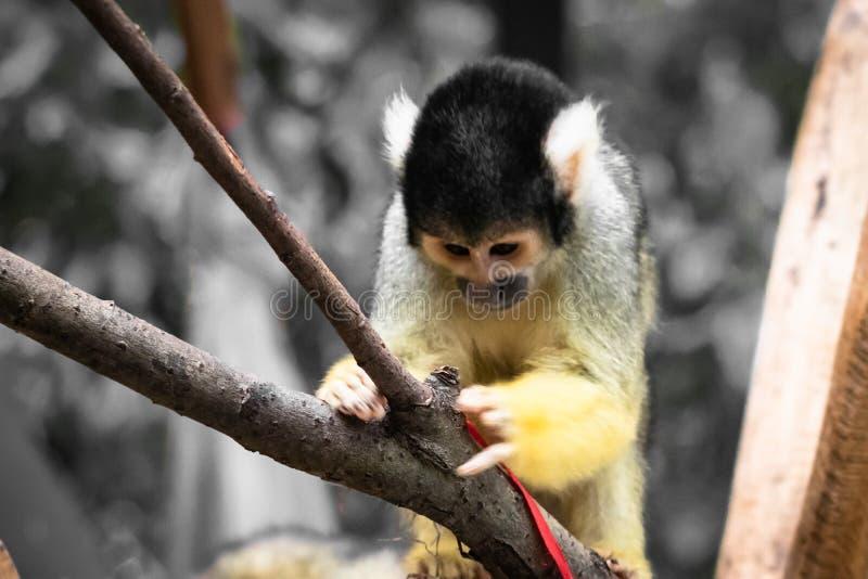 Fin bolivienne de portrait de singe-écureuil de saimiri mignon vers le haut du jeu avec le chapeau de Noël images libres de droits