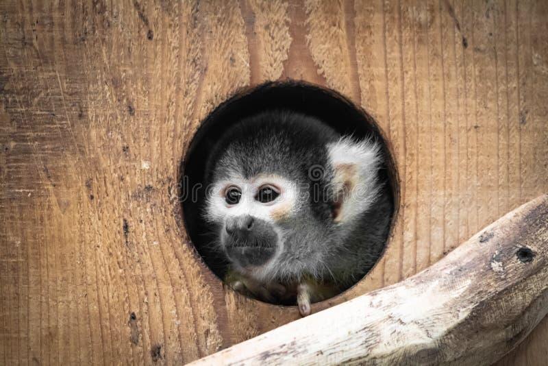 Fin bolivienne de portrait de singe-écureuil de saimiri mignon vers le haut de la dissimulation en trou photographie stock