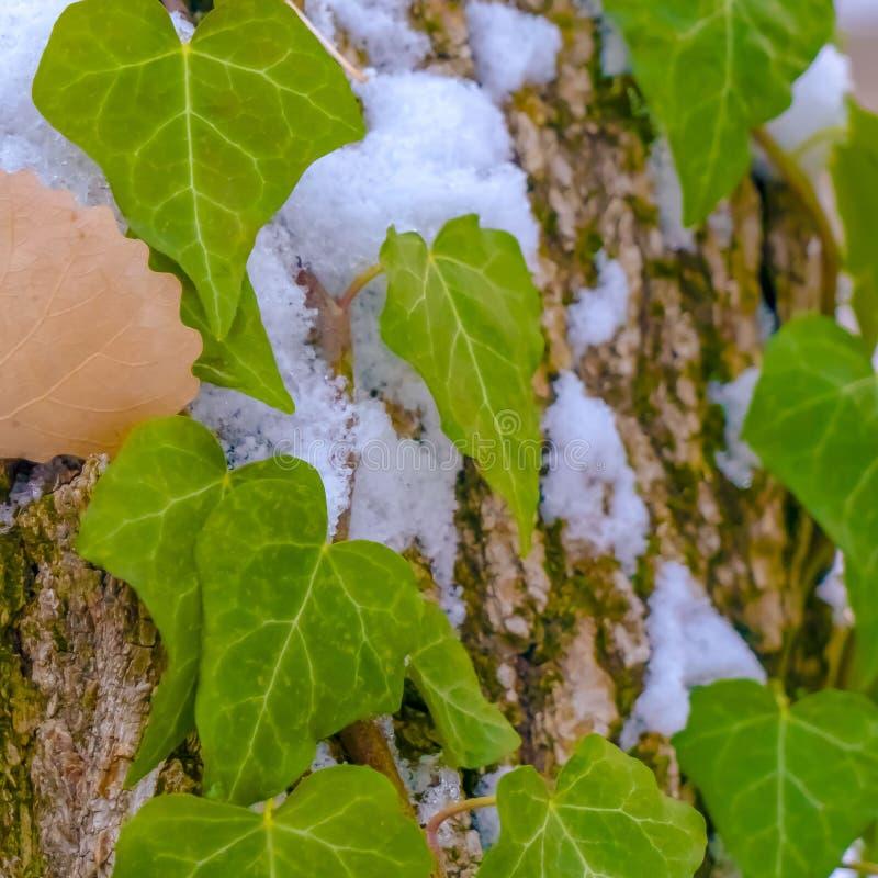 Fin carrée claire d'un arbre avec des vignes et des algues s'élevant sur son écorce brune en hiver images stock