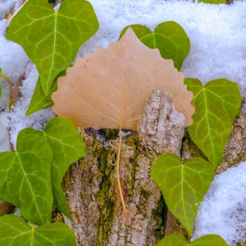 Fin carrée d'un arbre avec des vignes et des algues s'élevant sur son écorce brune en hiver images libres de droits