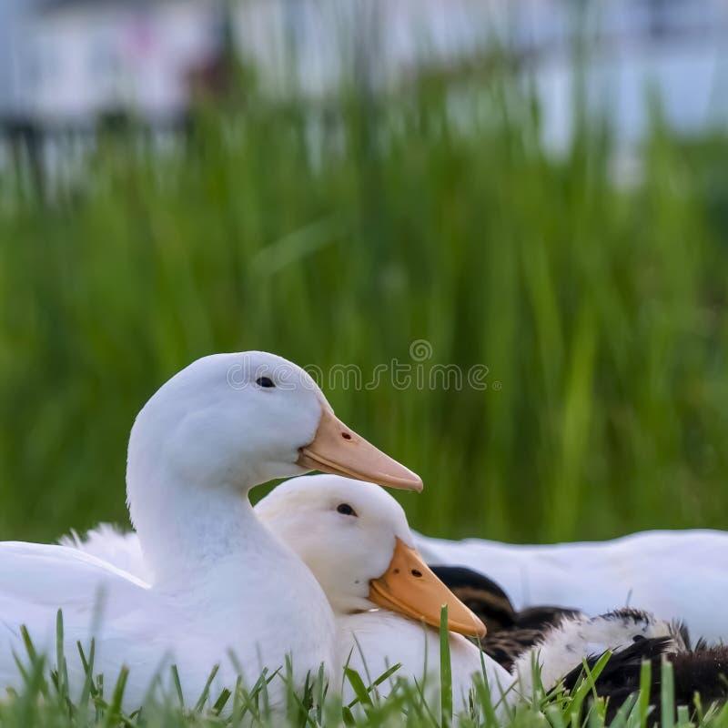 Fin carrée de cadre des canards se reposant sur un terrain herbeux près d'un étang un jour ensoleillé photographie stock libre de droits