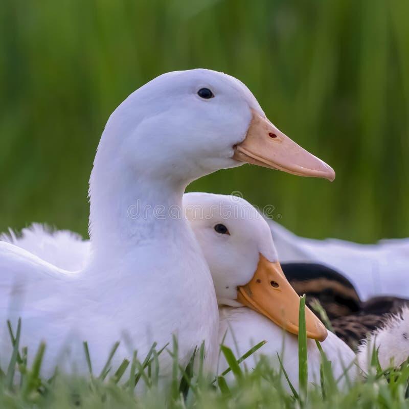 Fin carrée de cadre vers le haut de la vue des canards avec les plumes blanches et du bec jaune un jour ensoleillé images stock