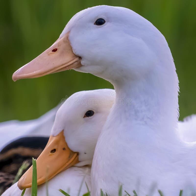 Fin carrée vers le haut de la vue des canards avec les plumes blanches et du bec jaune un jour ensoleillé photos libres de droits