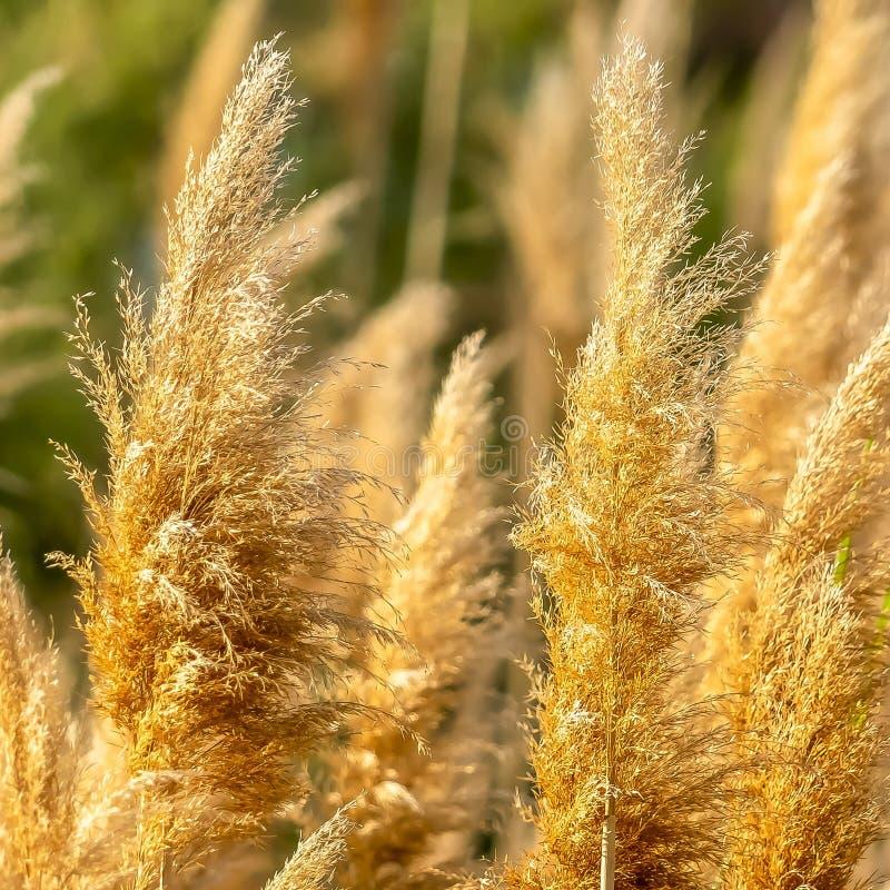 Fin carrée vers le haut de la vue des herbes brunes jaunâtres illuminées par lumière du soleil un jour ensoleillé photographie stock