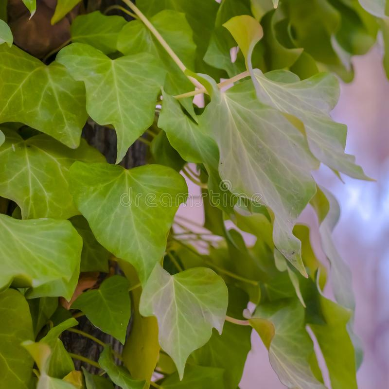 Fin carrée vers le haut de vue d'un arbre avec les vignes luxuriantes s'élevant autour de son tronc brun images stock
