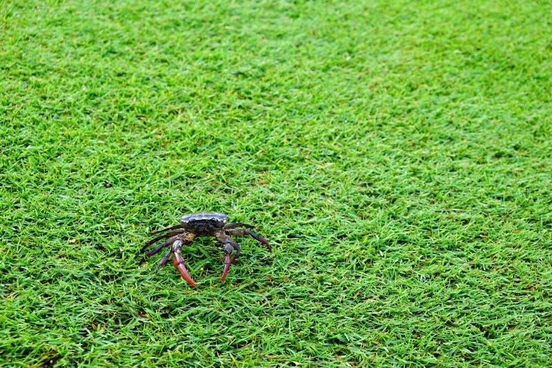 Fin classée de fond d'herbe verte de crabe et espace de copie photo libre de droits