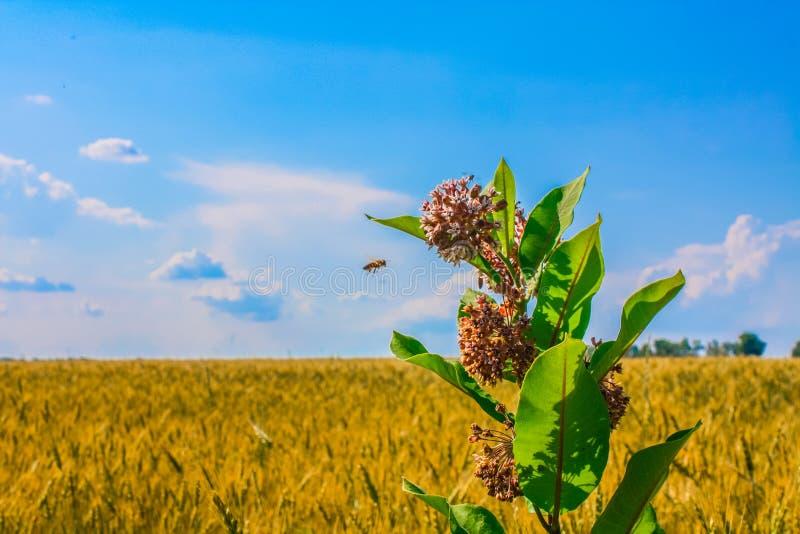 Fin commune de floraison de fleur de milkweed ou de papillon, colorée et vive usine avec une abeille de vol, fond naturel images libres de droits