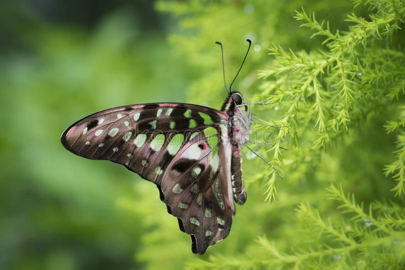 Fin coupée la queue de papillon de geai  photos libres de droits