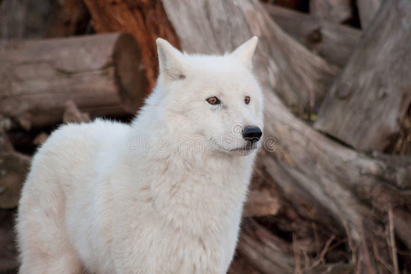 Fin d'Alaska blanche de loup de toundra  Arctos de lupus de Canis Loup polaire ou loup blanc photo libre de droits
