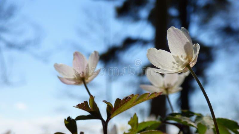 Fin d'anemon de forêt  photographie stock