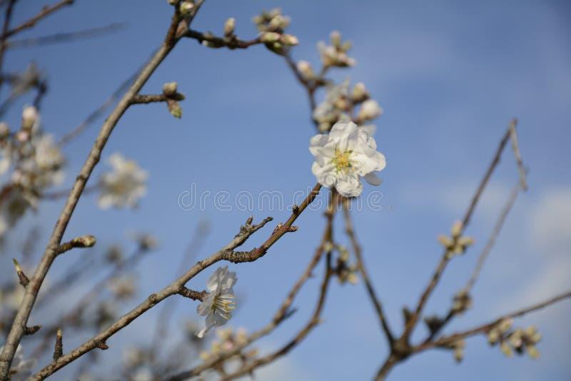 Fin d'arbre d'amande vers le haut de groupe photographie stock libre de droits