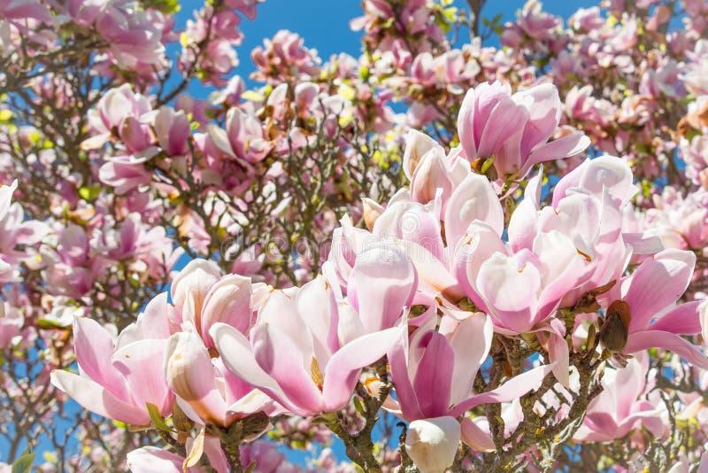 Fin d'arbre de fleur de magnolia vers le haut de détail photo stock