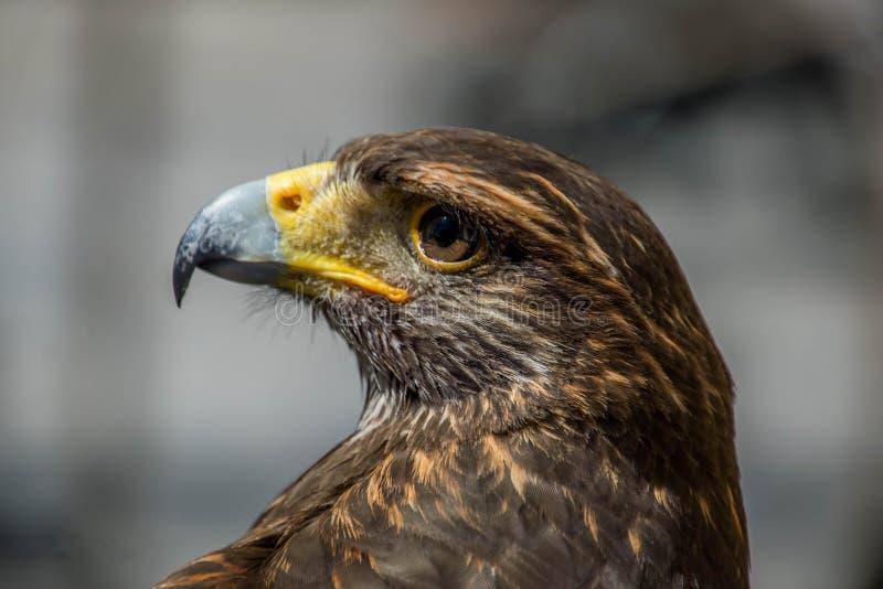 Fin d'Eagle observant  photo stock