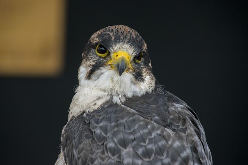 Fin d'Eagle observant  photos stock