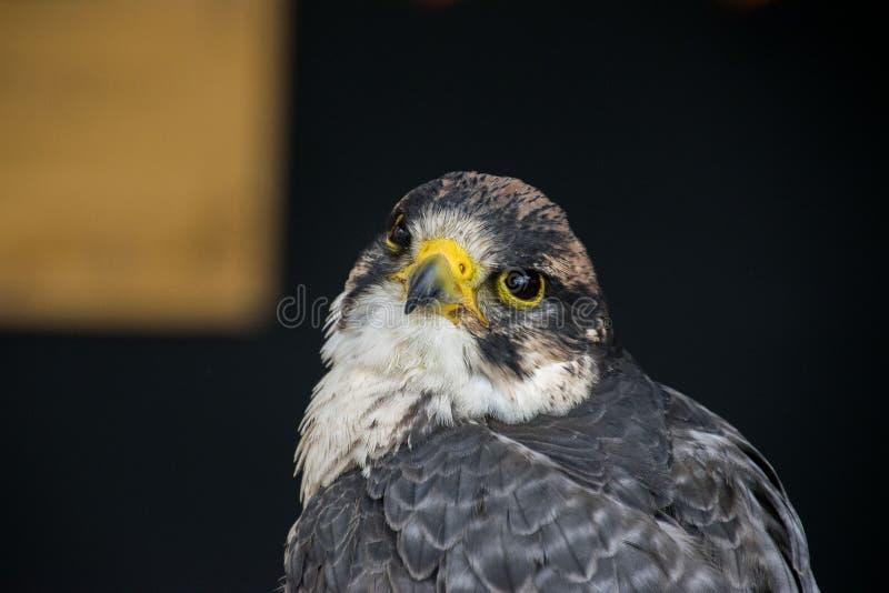 Fin d'Eagle observant  images stock
