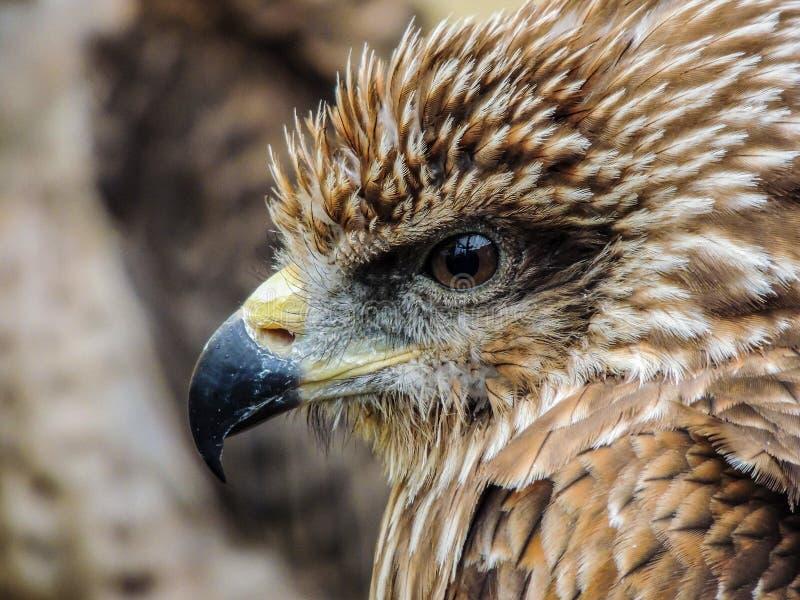 Fin d'Eagle observant  photos libres de droits
