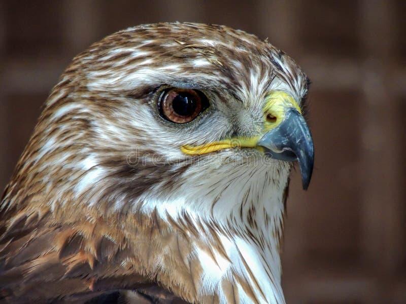 Fin d'Eagle observant  images libres de droits