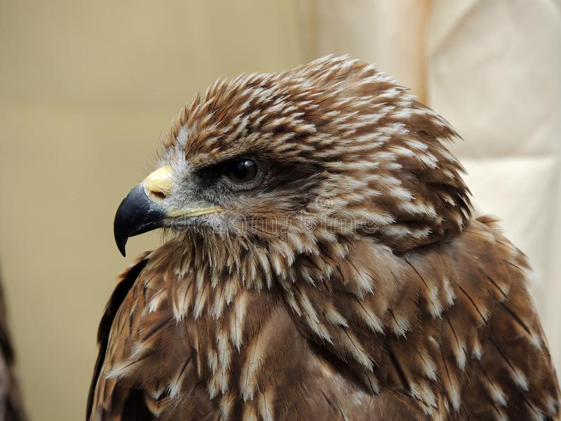 Fin d'Eagle observant  photographie stock