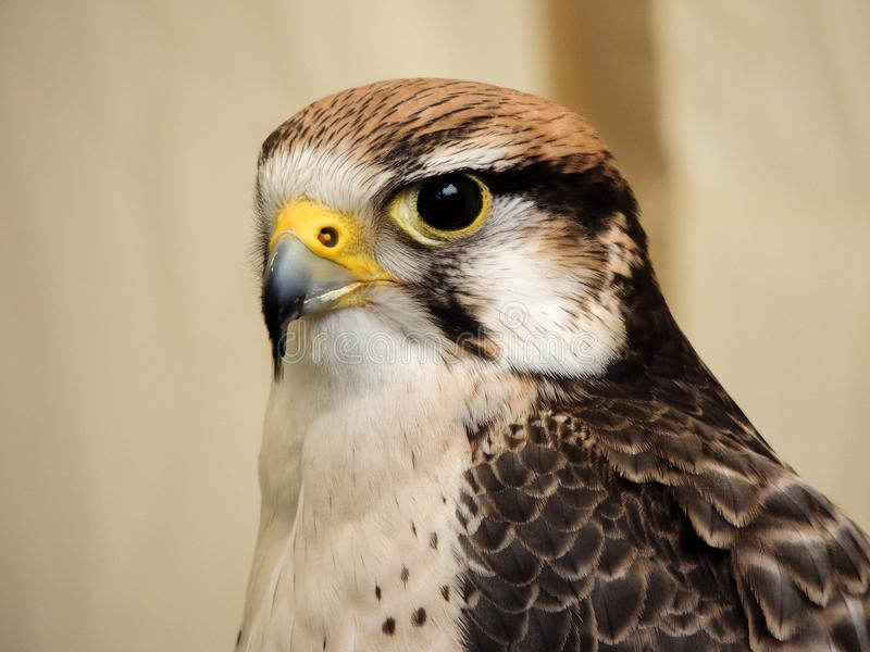 Fin d'Eagle observant  image libre de droits