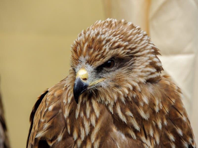Fin d'Eagle observant  image stock