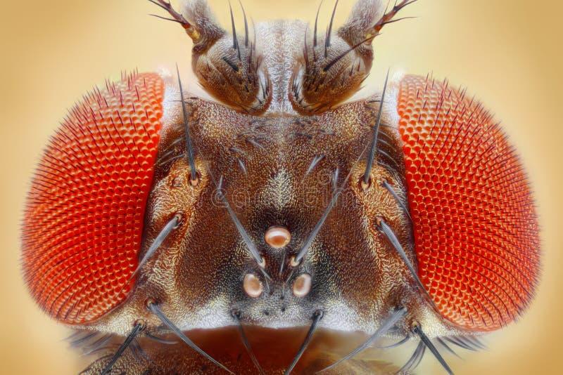 Melanogaster de drosophile images libres de droits