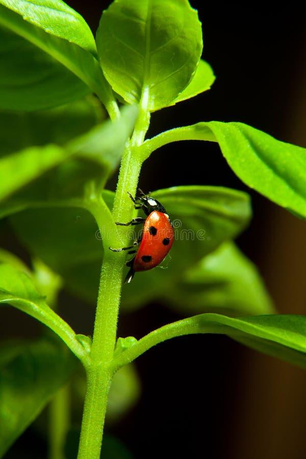 Fin d'insecte de Madame sur des verts de basilic photographie stock