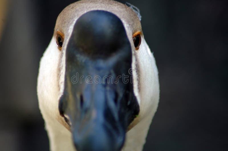Fin d'oie d'oiseau  photographie stock libre de droits