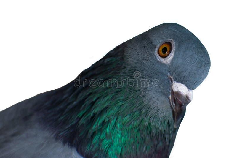 fin d'oiseau de pigeon vers le haut du visage d'isolement sur le fond blanc photographie stock libre de droits