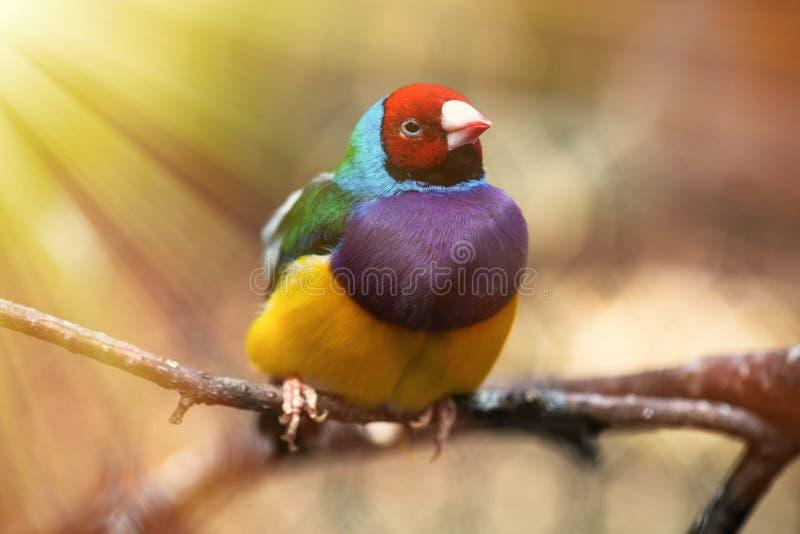 Fin d'oiseau de pinson d'arc-en-ciel de Gouldian vers le haut de birn de nature images stock