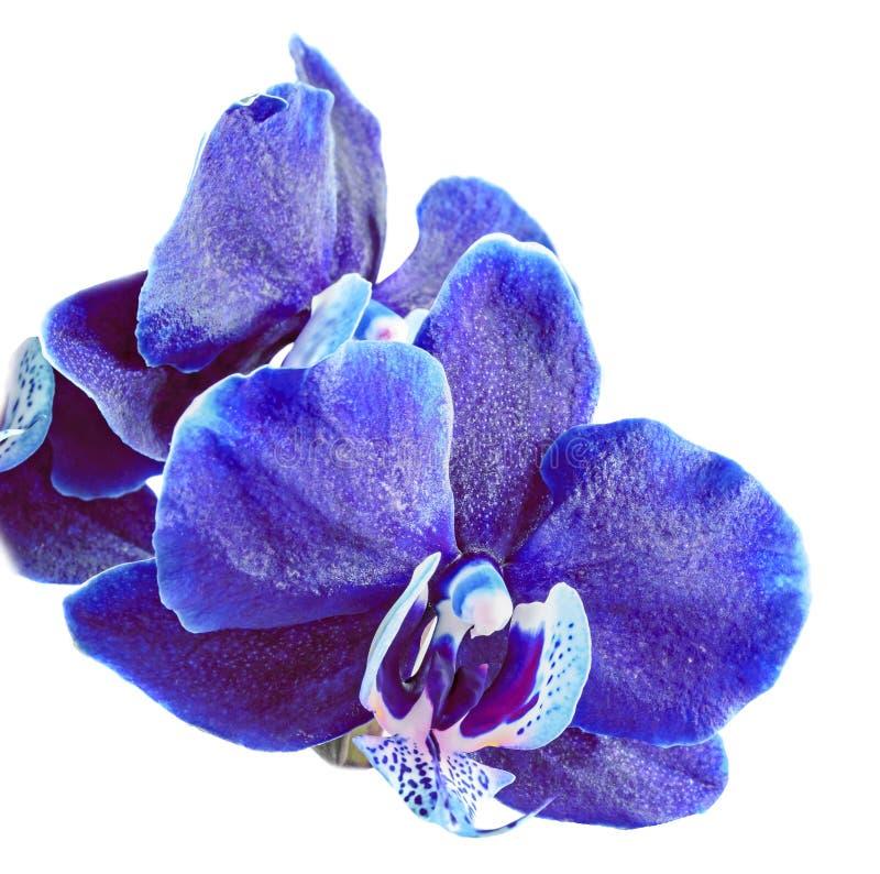 Fin d'orchidée bleue vers le haut de la fleur de branche, d'isolement sur le fond blanc photos libres de droits