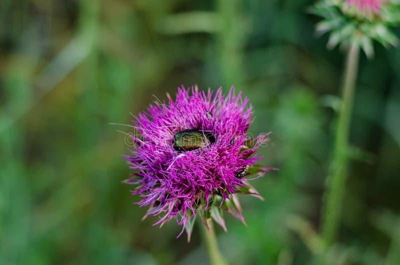 Fin de bourgeon de chardon  Sur le bourgeon il y a un petit insecte Bronzovka d'or, ou lat en bronze ordinaire Cetonia Aurata image stock