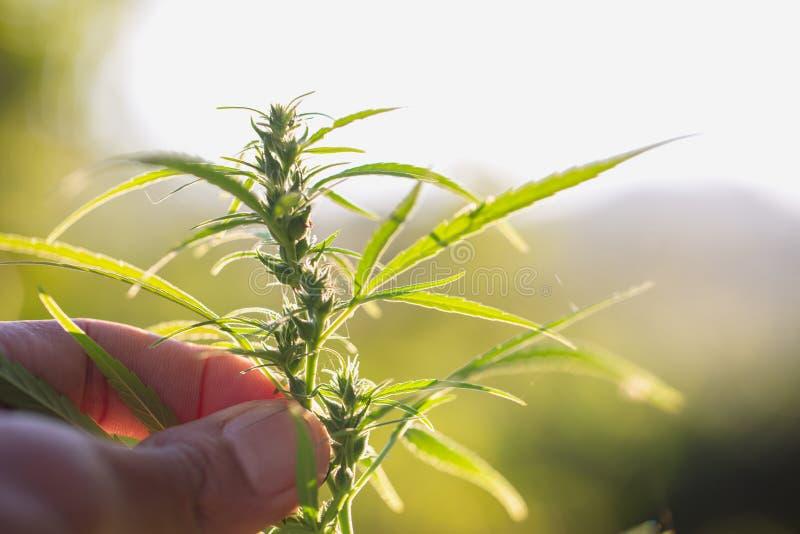 Fin de bourgeon d'usine de cannabis ? disposition  Usine de cannabis de cannabis de marijuana d'examen d'agriculteur et bourgeon  image libre de droits