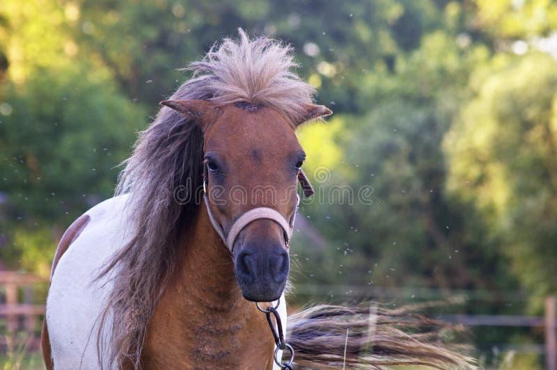 Fin de cheval femelle de Brown  images libres de droits